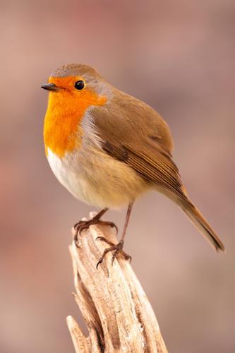 Hübscher Vogel mit schönem roten Gefieder Leben Mann Erwachsene Umwelt Natur Tier Herbst klein natürlich wild braun weiß Tierwelt Rotkehlchen Ast allgemein