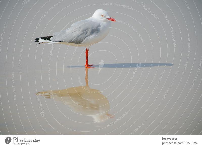 silver gull triple ll Pazifikstrand Wildtier Silbermöwe 1 stehen außergewöhnlich nass grau weiß Perspektive Surrealismus Symmetrie Schattenspiel 3