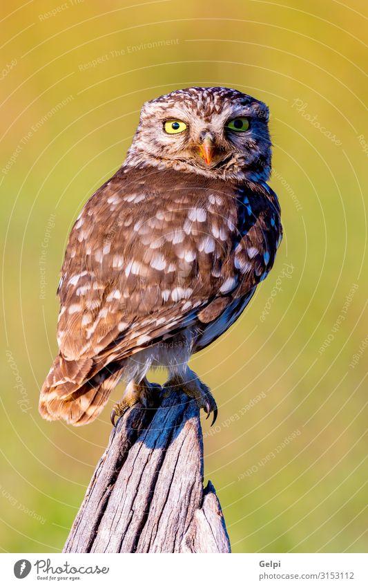 Niedliche Eule, kleiner Vogel mit großen Augen schön Natur Tier Wald Flügel lustig natürlich niedlich wild braun gelb gold grün schwarz weiß Tierwelt
