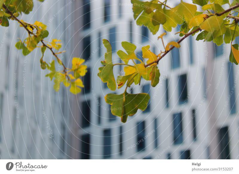 Nahaufnahme von Zweigen mit grün-gelben Ginkgoblättern vor moderner Hochhausfassade mit vielen Fenstern Umwelt Natur Pflanze Herbst Baum Blatt Hamburg