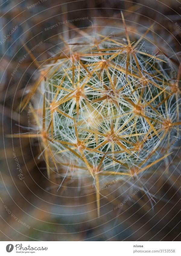 Kaktus Detailaufnahme stechend Pflanze botanisch Farbfoto grün Natur Botanik Nahaufnahme Makroaufnahme Garten schön natürlich Blume Farbe Sommer