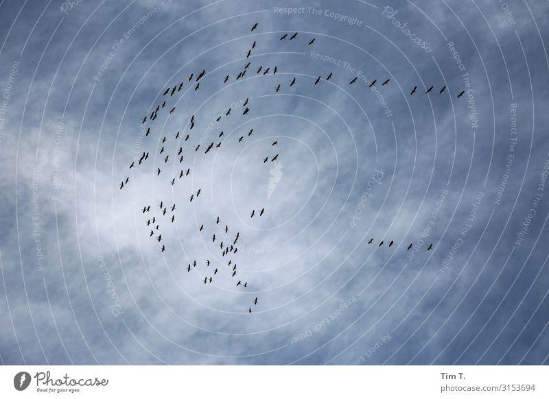 die große Flatter Prenzlauer Berg Stadt Hauptstadt Stadtzentrum Altstadt Menschenleer Tier Wildtier Vogel Tiergruppe Schwarm Umzug (Wohnungswechsel)