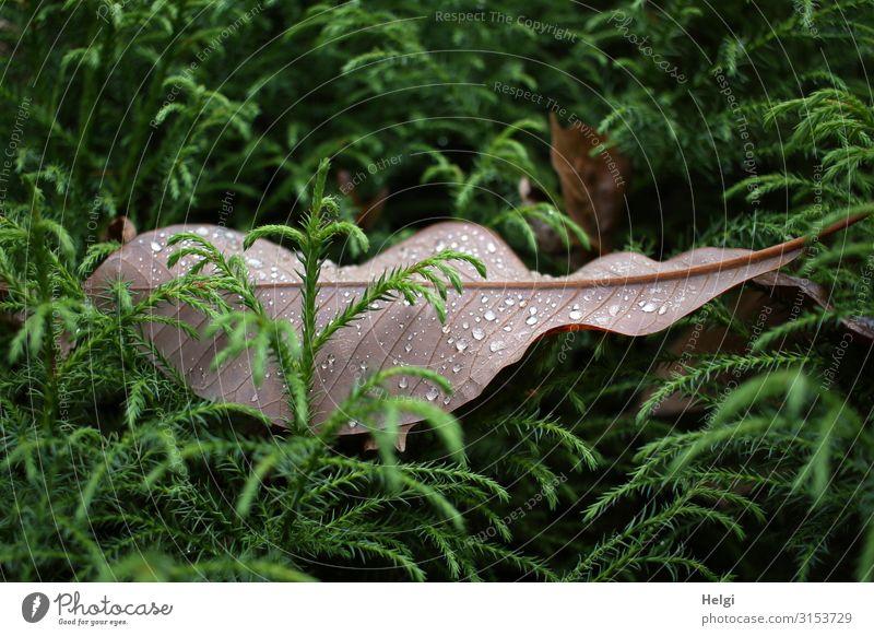 ein großes braunes Blatt mit Regentropfen liegt zwischen grünen Zweigen Umwelt Natur Pflanze Wassertropfen Herbst Baum Grünpflanze Park liegen dehydrieren