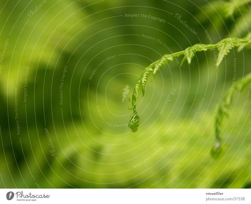Der Regentropfende Farn Natur Wasser grün Regen Wassertropfen Echte Farne