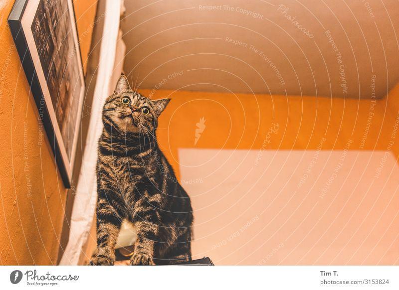 Kater König Prenzlauer Berg Tier Haustier Nutztier Wildtier Katze 1 Kraft Stolz Häusliches Leben Hauskatze Farbfoto Menschenleer Nacht Kunstlicht