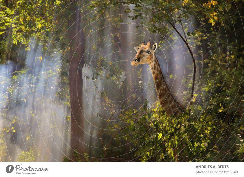 Giraffe - Spaziergang durch den Nebel Ferien & Urlaub & Reisen Tourismus Ausflug Abenteuer Freiheit Sightseeing Safari Sommer Sommerurlaub Umwelt Natur Tier