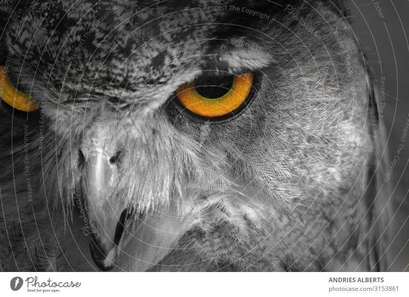 Eulenaugen - Symbol der Natur Ferien & Urlaub & Reisen Tourismus Abenteuer Freiheit Sightseeing Safari Umwelt Tier Park Wildtier Vogel Tiergesicht Waldohreule