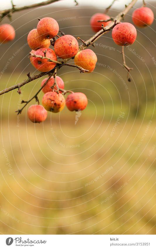 Das gibt schon einen Apfelstrudel. Natur Gesundheit Frucht Ernährung Landwirtschaft Bauernhof hängen