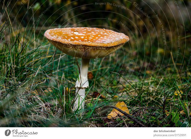 Ein Männlein steht im Walde IV Pilz Herbst Fliegenpilz einzeln Coolness Gras