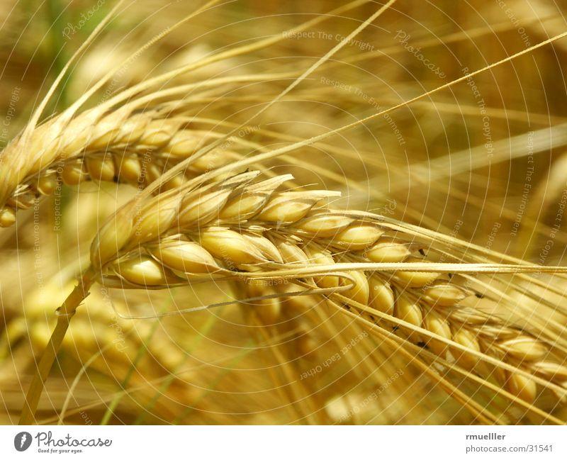 Siehe, die Felder sind reif zur Ernte... Gerste gelb Futter Ernährung Makroaufnahme Natur gold Korn Lebensmittel