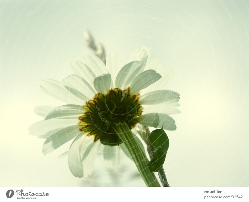 Blume mal anders Natur schön weiß grün Sommer gelb Wiese rein