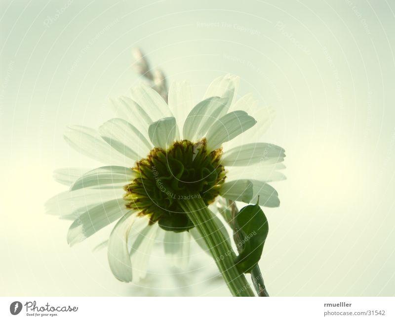 Blume mal anders Natur schön weiß Blume grün Sommer gelb Wiese rein