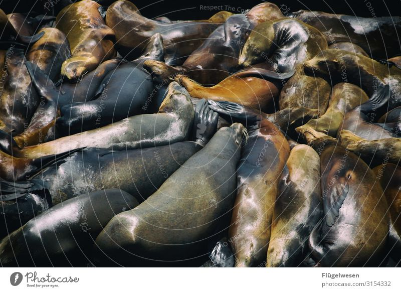 101x Arjen Robben Seelöwe Seehund Tier Wasser Amerika Rudel Erholung Pause glänzend Mittagspause
