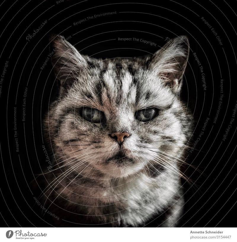 Old cat Katze Tier schwarz grau Haustier Tiergesicht silber