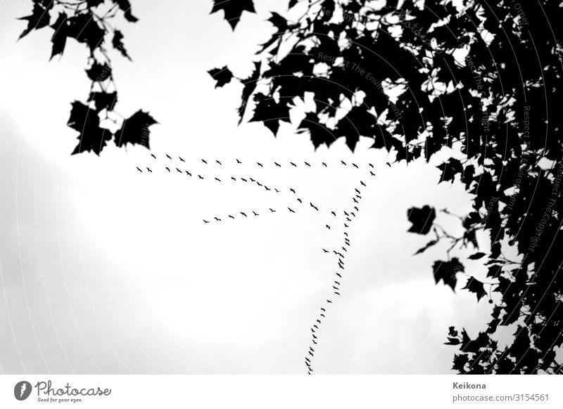 Herbst Kino Natur Landschaft Baum Ahorn Ahornblatt Wildtier Vogel Kranich Tiergruppe Schwarm fliegen retro schwarz weiß Gefühle Stimmung Ziel Schwarzweißfoto