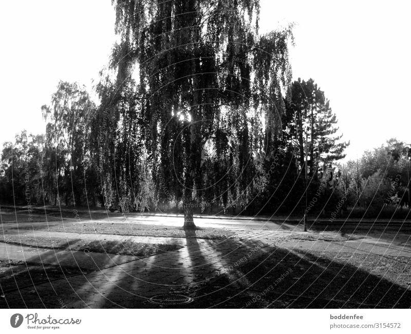 Birke im herbstlichen Gegenlicht Natur Landschaft Pflanze Sonnenlicht Herbst Schönes Wetter Baum Kleinstadt Menschenleer Straße Gefühle Zufriedenheit Romantik