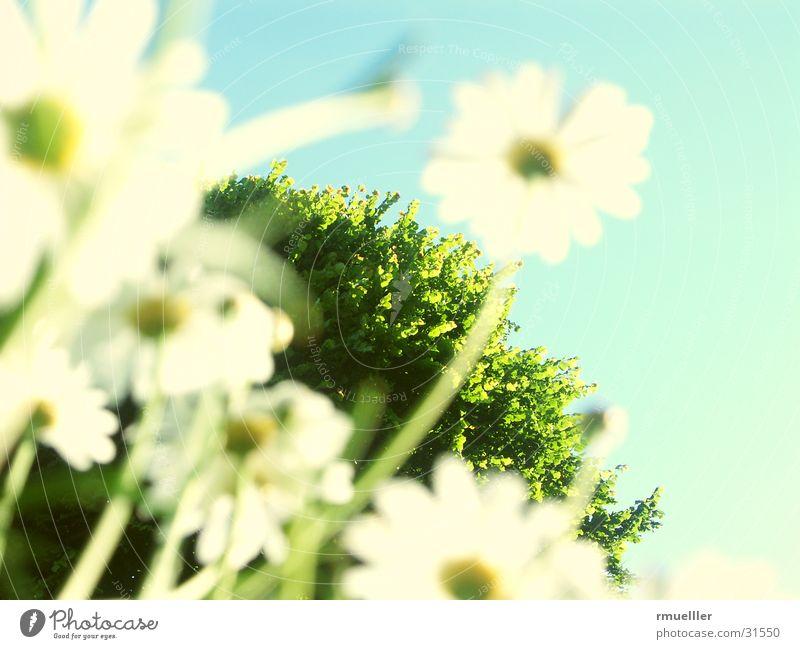 Wir sind die Grössten... II Margerite Blume Baum Natur Himmel