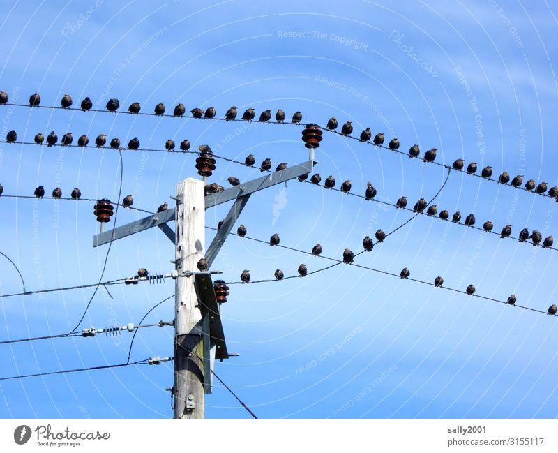 Warten auf den Abflug... Energiewirtschaft Elektrizität Hochspannungsleitung Strommast Tier Vogel Tiergruppe Schwarm hocken Kommunizieren sitzen warten frei