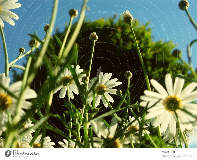 Wir sind die Grössten... Margerite Blume Baum nah Gras grün gelb Natur Himmel Makroaufnahme Nahaufnahme blau