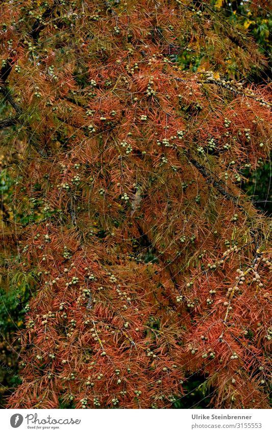 Herbstlich in Planten und Blomen Städtereise Umwelt Natur Pflanze Baum Wildpflanze Park Hamburg alt dehydrieren natürlich stachelig Wärme braun Vergänglichkeit