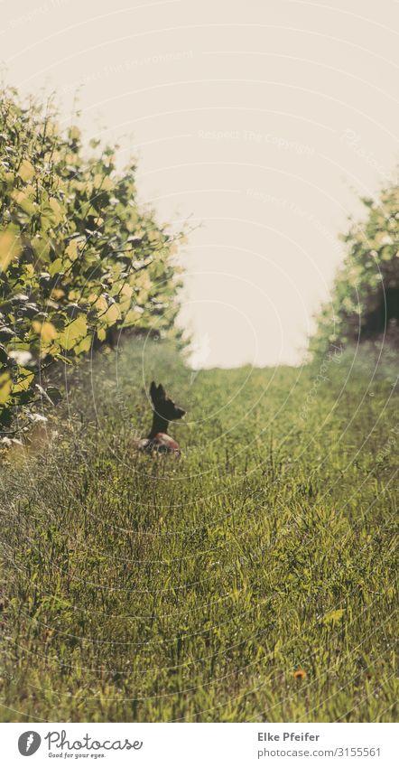 Im Weingarten Natur Landschaft Tier Pflanze Nutzpflanze Haustier Wildtier Hirsche Reh 1 natürlich Stimmung Wachsamkeit Gelassenheit Toleranz Farbfoto