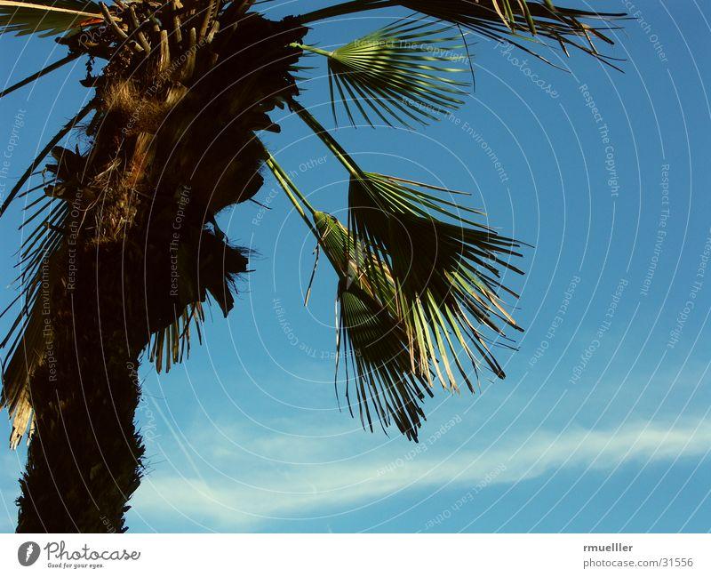 Fernweh III Palme Baum Sommer Süden Ferien & Urlaub & Reisen grün Blatt Himmel blau Natur Nahaufnahme