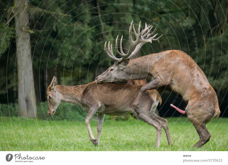 copulating red deer on the forest glade Natur Erotik Erholung Tier Freude Sport Sex Wildtier Sexualität Rothirsch