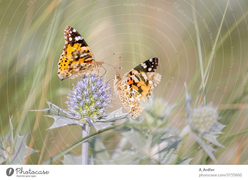 zwei Distelfalter sitzen auf einer Stranddistel Natur Pflanze Tier Sommer Gras Sträucher Grünpflanze Wildpflanze Distelblatt Distelblüte Distelrosette
