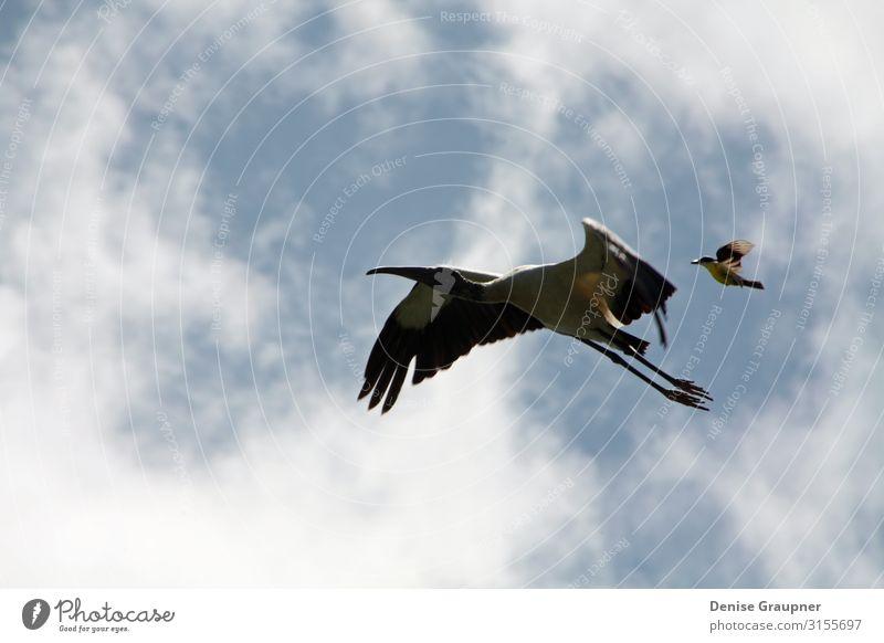 wood stork and a little bird fly together in Costa Rica Leben Tourismus Abenteuer Sightseeing Expedition Umwelt Natur Landschaft Klima Schönes Wetter Vogel 2
