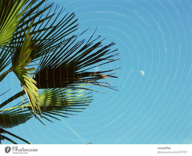 Fernweh II (mit Mond) Palme Baum Sommer Süden Ferien & Urlaub & Reisen grün Blatt Himmel blau Natur Nahaufnahme