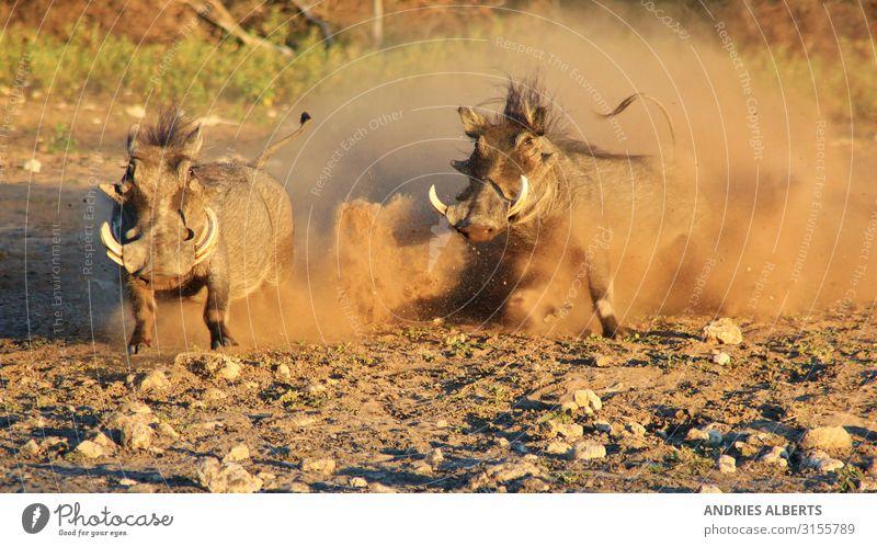 Warzenschwein-Kampf - Naturzauber Tourismus Ausflug Freiheit Sightseeing Safari Sommer Umwelt Tier Park Wildtier 2 Aggression braun weiß Stimmung Kraft Angst