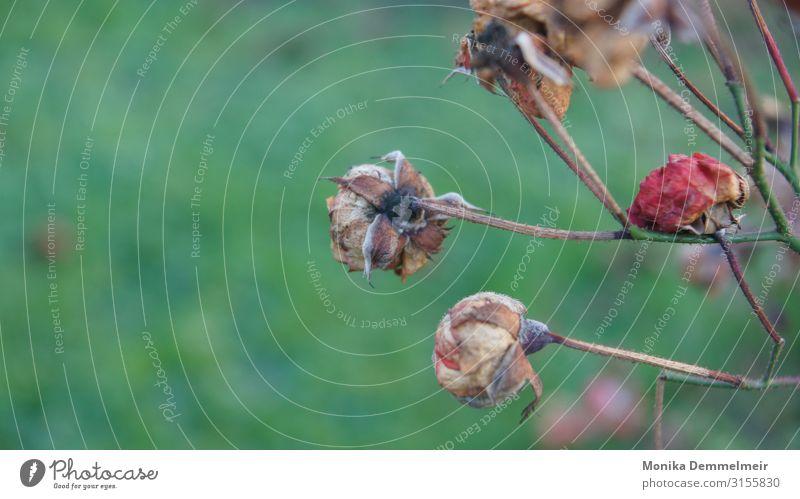 Vergänglichkeit Rosen vergänglichkeit vertrocknet Pflanze Menschenleer Natur Farbfoto Tag Außenaufnahme Schwache Tiefenschärfe trocken Herbst Umwelt