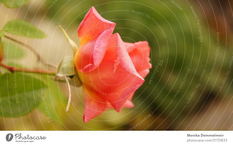 Rose Natur Pflanze Sommer Blume Blüte Garten Park Dorf ästhetisch schön Erotik stachelig rosa Liebe Treue Romantik Lust Güte trösten dankbar Reinheit Tod