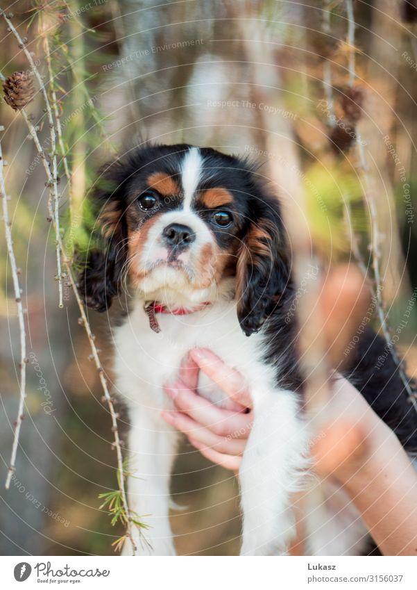 Süßer Kavalierswelpe zwischen Zapfen gehalten Tier Haustier Hund 1 fantastisch Freundlichkeit klein niedlich schön Fröhlichkeit Coolness Optimismus Tierliebe