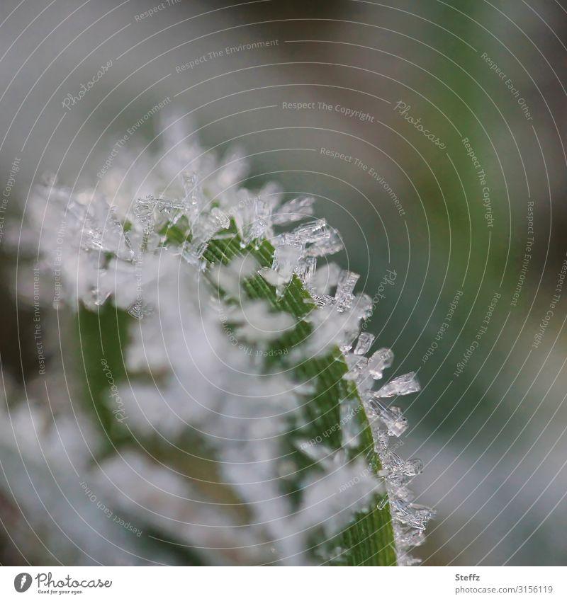 Eiskristalle Umwelt Natur Herbst Winter Frost Pflanze Blatt Garten frieren kalt nah natürlich schön grau grün weiß Winterstimmung Novemberstimmung Makroaufnahme