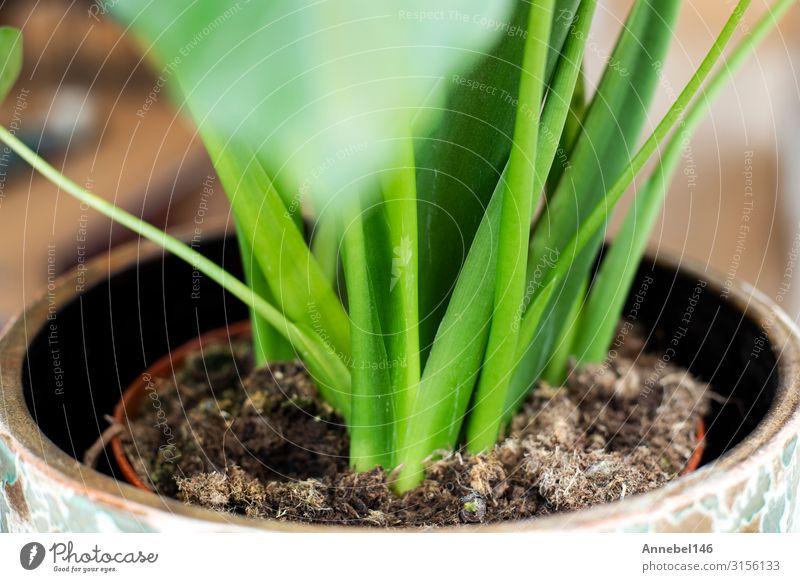 Makro Nahaufnahme einer Gewächshauspflanze, grüne Blätter Kräuter & Gewürze Topf exotisch schön Sommer Haus Garten Dekoration & Verzierung Gartenarbeit Umwelt