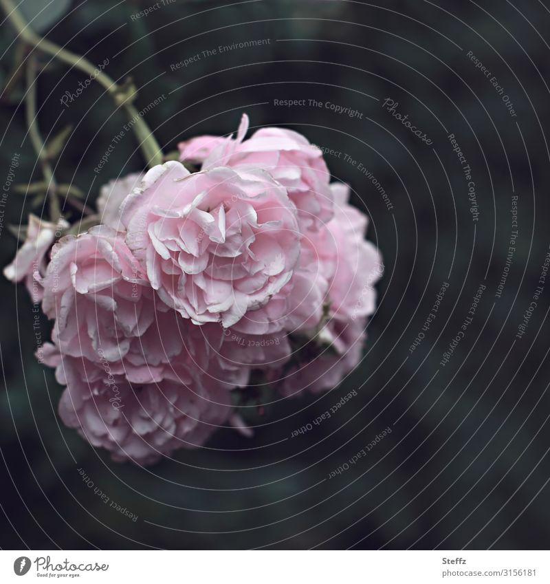 poet`s rose Umwelt Natur Sommer Blume Blüte Rose Rosenblüte Rosengewächse Gartenrose Rosengarten Blühend Duft natürlich schön rosa Stimmung Romantik achtsam