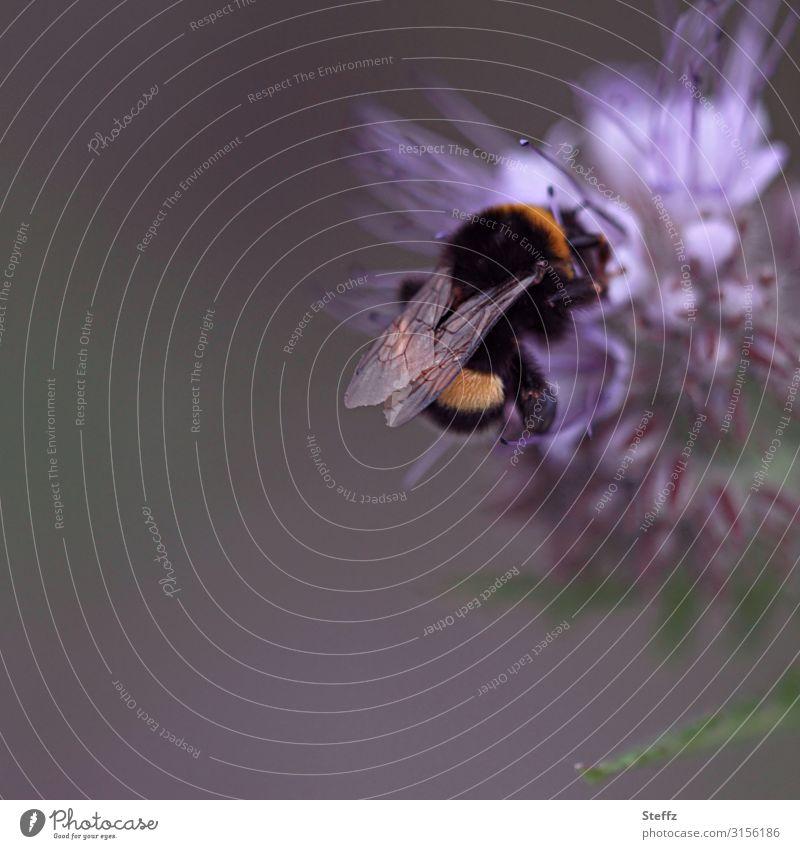 Bombus Umwelt Natur Pflanze Tier Sommer Blume Blüte Sommerblumen Garten Nutztier Flügel Hummel Insekt Fressen natürlich schön violett Sommergefühl Idylle