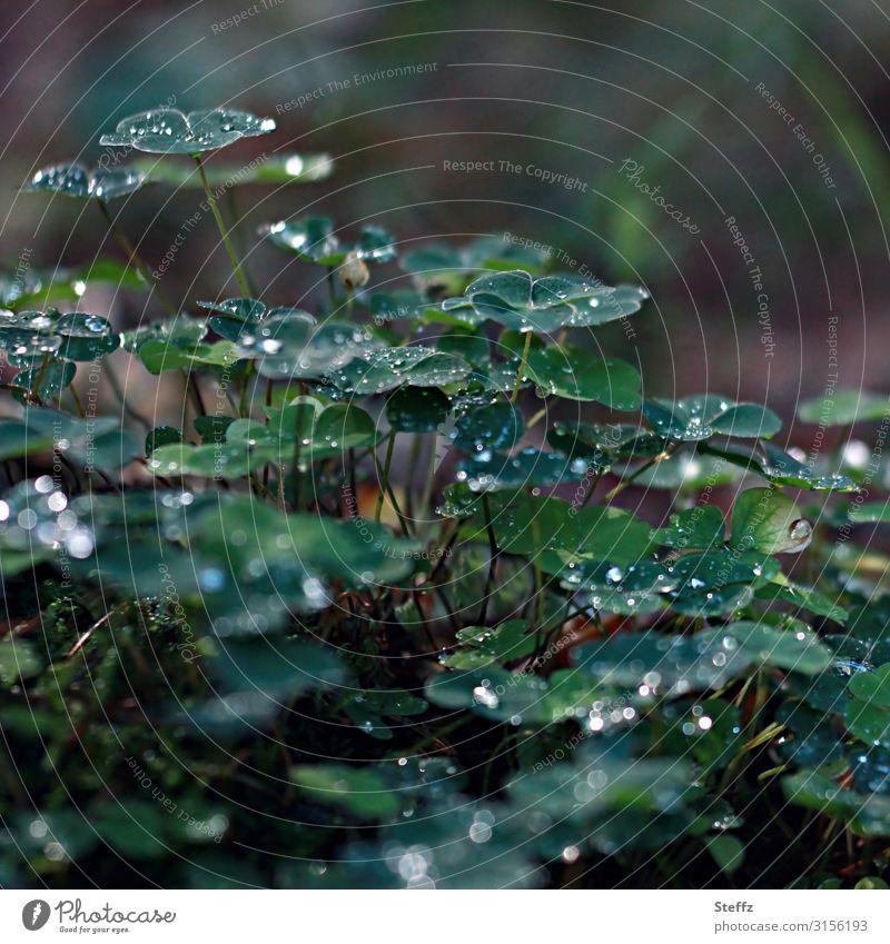 Klee im Wald Umwelt Natur Wassertropfen Sommer Wetter Regen Pflanze Blatt Wildpflanze Waldpflanze Kleeblatt Waldboden Wachstum dunkel frisch nass natürlich