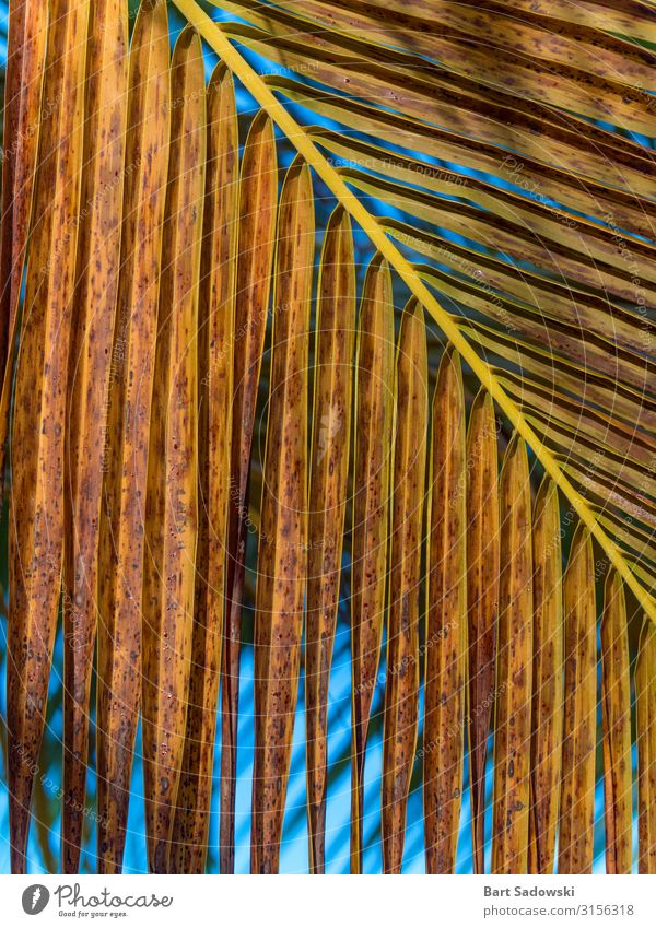 Detail Trockenpalme schön Ferien & Urlaub & Reisen Sommer Strand Insel Natur Pflanze Wärme Dürre Blatt Grünpflanze Urwald Küste exotisch trocken Farbe