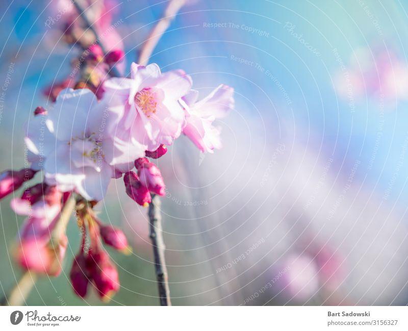 Frühlingsblüten-Hintergrund schön Duft Ostern Natur Pflanze Baum Blume Blüte Garten frisch hell rosa weiß Beginn Kirschbaum Kirschblüten sonnig farbenfroh