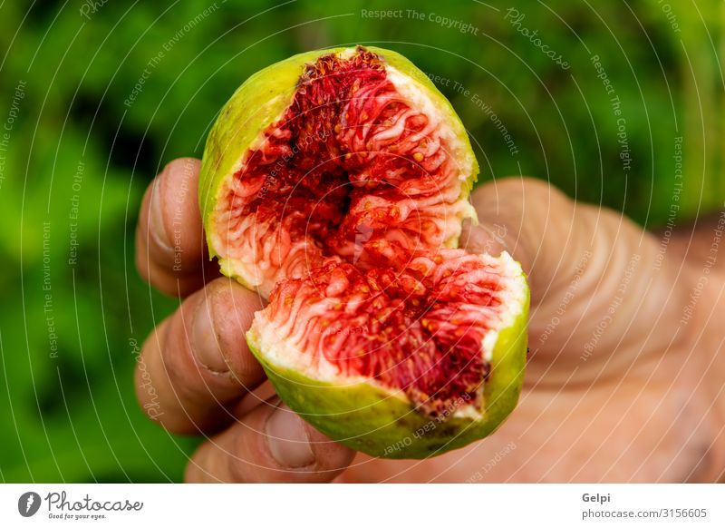 Jemand, der eine süße Feige zeigt. Frucht Dessert Tisch Hand Natur Pflanze Baum Blatt frisch grün rot Schmerz Farbe Tradition Lebensmittel reif Geschmackssinn