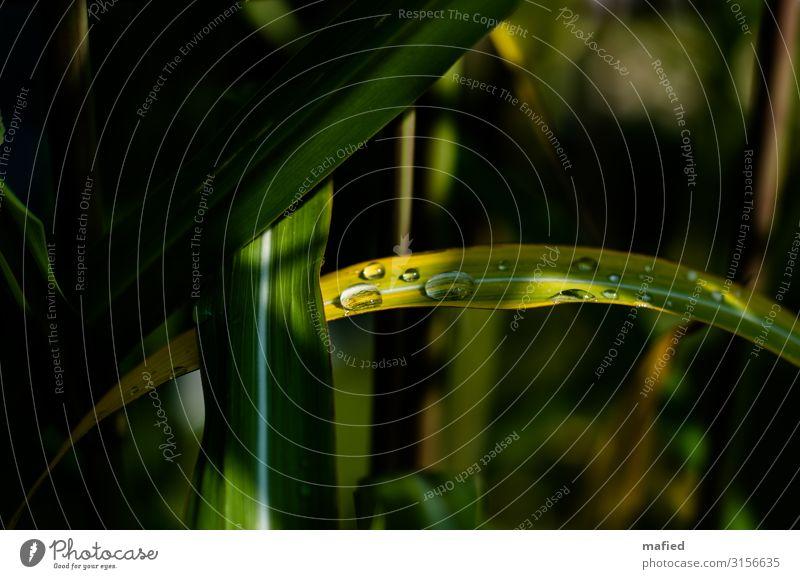 Lichtblick Natur Pflanze Wassertropfen Schönes Wetter Gras Blatt Schilfrohr Garten gelb grün weiß Farbfoto Außenaufnahme Menschenleer Textfreiraum links