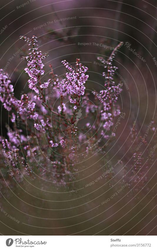 summer memories Umwelt Natur Pflanze Sommer Sträucher Wildpflanze Bergheide Calluna Heidekrautgewächse Deutschland Europa Blühend natürlich schön braun rosa