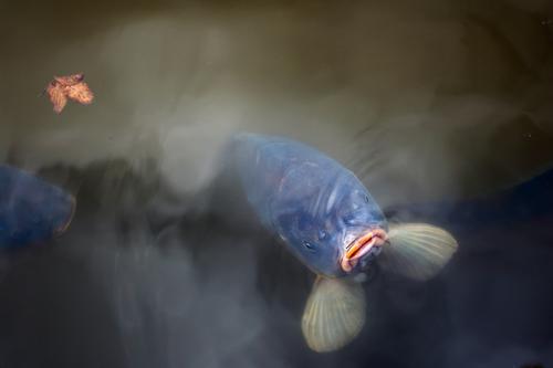 ein dicker hungriger Karpfen hält sein Maul aus dem Wasser und wartet auf Futter Umwelt Natur Tier Herbst Blatt Park Teich Fisch Tiergesicht 1 beobachten Blick