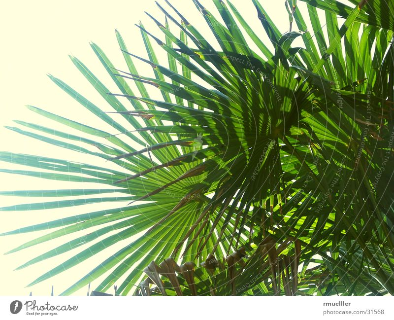 Palmwedel Natur Himmel grün Sommer Ferien & Urlaub & Reisen Blatt Palme Süden