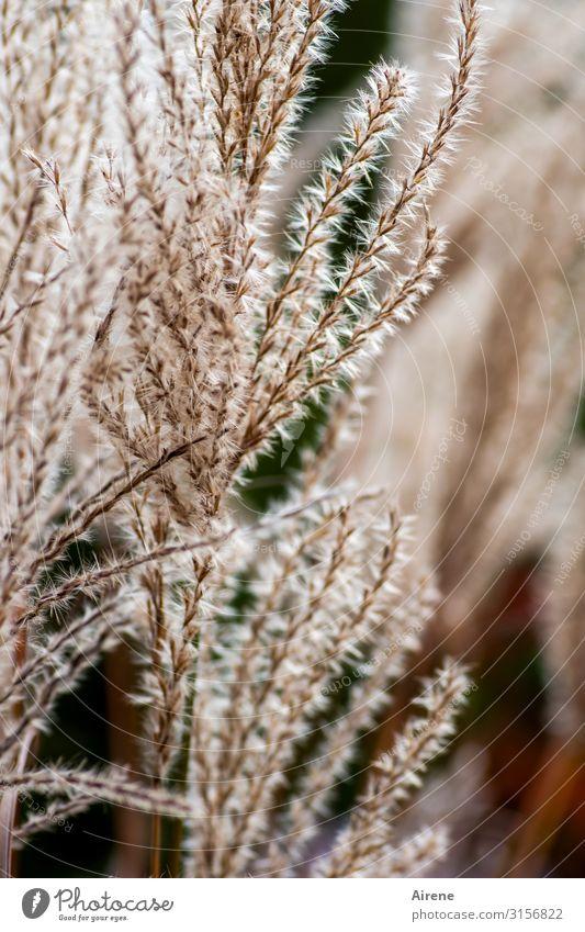 Planten... | UT Hamburg Pflanze Gras Wachstum weich braun Warmherzigkeit Sympathie kuschlig zart hellbraun Farbfoto Außenaufnahme Menschenleer Tag