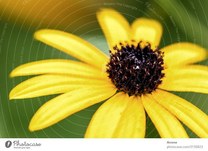 Sonnenhut oder so   UT Hamburg Pflanze Blume Blüte Garten Wiese Blühend Duft frisch hell Originalität schön braun gelb Lebensfreude Gesundheit Natur Wachstum