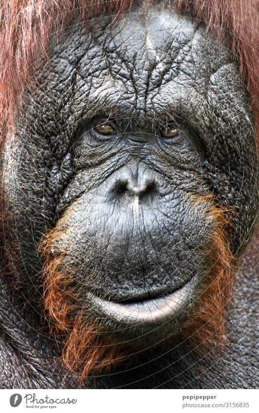 Orang-Utan Safari Tier Wildtier Tiergesicht Fell Zoo 1 Lächeln grau orange Farbfoto Außenaufnahme Nahaufnahme Zentralperspektive Tierporträt