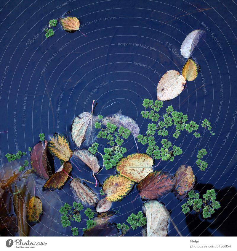 verschiedene Herbstblätter und Grünpflanzen schwimmen auf blauem Wasser Umwelt Natur Pflanze Blatt Wasserpflanze Herbstfärbung Park Teich liegen